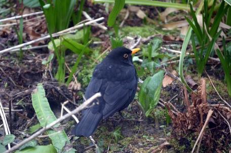 Blackbird friends